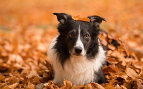 Picture autumn, face, leaves, nature, dog, the border collie