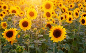 Picture light, sunflowers, flowers, yellow, field of sunflowers