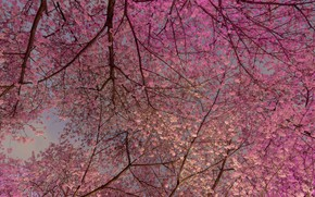 Picture cherry, spring, Canada, Vancouver, flowering