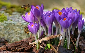 Picture flowers, insects, spring, bees, crocuses, lilac, chips