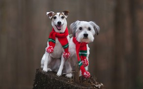 Picture autumn, language, dogs, look, red, nature, pose, background, mood, two, stump, dog, scarf, pair, white, …