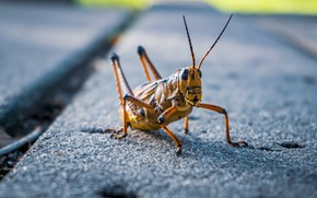 Picture nature, insect, grasshopper