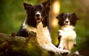 Picture language, dogs, look, light, pose, background, two, portrait, dog, paws, pair, puppy, log, a couple, …