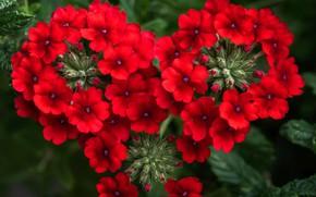 Picture macro, red, scarlet, Verbena