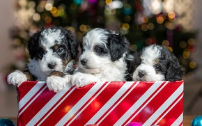 Picture glare, package, puppies, Christmas, New year, kids, trio, faces, Trinity, doggie, Бернедудель