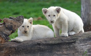 Picture white, look, nature, pose, background, pair, log, white, the cubs, a couple, Duo, lion, two, …
