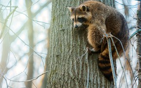 Picture look, face, branches, nature, pose, fog, background, tree, blur, raccoon, trunk, scrambles, climbs