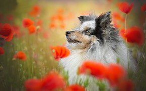 Picture face, flowers, Maki, portrait, dog, Sheltie, Shetland Sheepdog