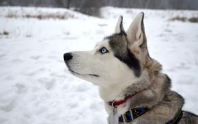 Picture photo, Dog, Look, Head, Animals, Husky