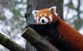 Picture look, nature, pose, background, tree, trunk, animal, red Panda, face, cutie, bokeh, red Panda, foot, ...