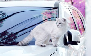 Picture machine, cat, white, cat, look, glass, light, flowers, branches, pose, reflection, spring, fold, pink, car, …