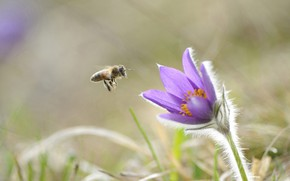 Picture flower, bee, insect, Pulsatilla vulgaris