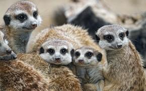 Picture meerkats, family, kids, cute