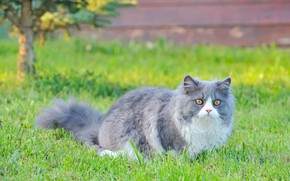 Picture cat, grass, cat, nature, fluffy, walk, grey with white