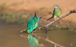 Picture birds, nature, pose, green, reflection, shore, two, branch, parrot, pair, parrots, a couple, Duo, drink, …