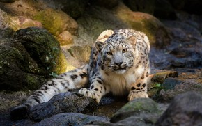Picture look, pose, stones, IRBIS, snow leopard, young