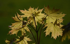 Picture light, background, spring, maple leaves