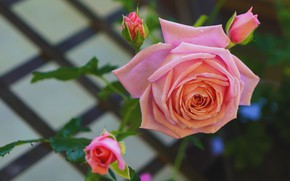 Picture flowers, background, roses, beauty, garden, pink, buds, peach