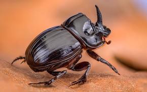 Picture macro, orange, pose, background, leaf, beetle, blurred, rhinoceros beetle