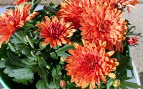 Picture orange, chrysanthemum, autumn