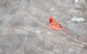 Picture winter, snow, branches, red, bird, cardinal