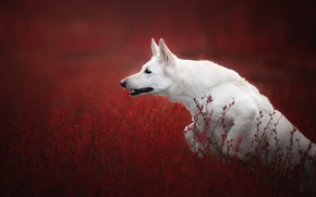 Picture grass, jump, dog, red background, The white Swiss shepherd dog