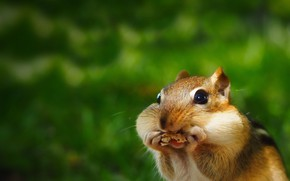 Picture background, Chipmunk, face, rodent, cheeks