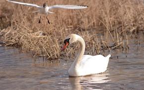 Picture look, birds, photohunt, Swan mute, чайка в полете