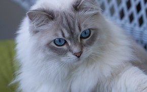 Picture cat, look, muzzle, blue eyes, fluffy, Ragdoll