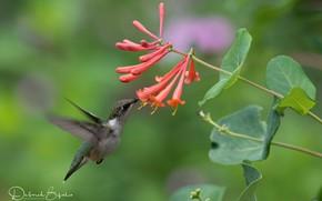 Picture flowers, tropics, Hummingbird