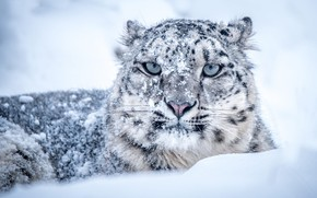 Picture winter, look, face, snow, pose, in the snow, portrait, lies, IRBIS, snow leopard, the snow, …