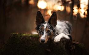 Picture autumn, look, nature, portrait, dog, the border collie