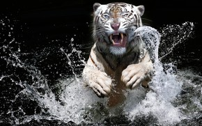 Picture white, look, face, water, squirt, tiger, the dark background, jump, splash, paws, bathing, mouth, grin, …