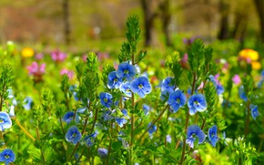 Picture Nature, Spring, Nature, Spring, Blue flowers, Blue flowers, Veronica Dubravnaya