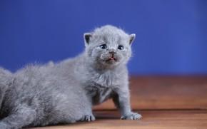 Picture language, background, baby, kittens, kitty, kids, British