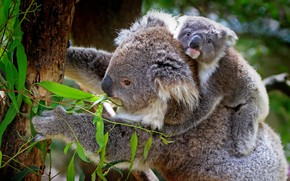 Picture look, leaves, pose, tree, paws, baby, trunk, face, cub, mom, bokeh, on the back, Koala, …