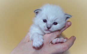 Picture look, pose, kitty, background, hands, baby, muzzle, fingers, kitty, mistress, keeps, ragdoll, ball, malenikii