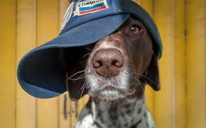 Picture each, dog, cap