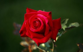 Picture close-up, blurred background, scarlet rose