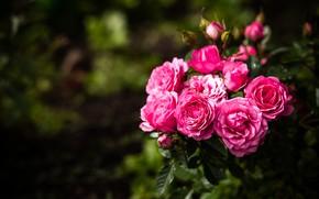 Picture macro, Bush, roses, a lot