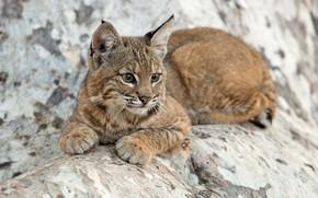 Wallpaper cub, kitty, lynx, wild cat, a small lynx