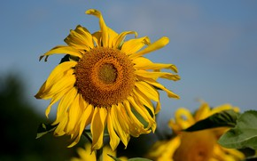Picture summer, nature, sunflower, August