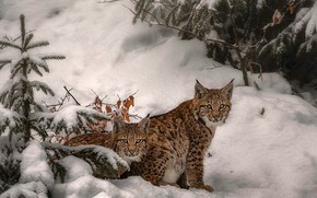 Picture winter, look, leaves, snow, branches, nature, pose, two, spruce, treatment, pair, the snow, herringbone, lynx, …