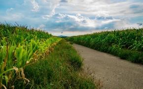 Picture road, field, corn