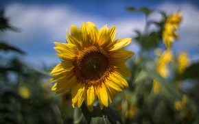 Picture sunflower, blurred background, field of sunflowers