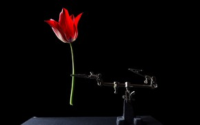 Picture Tulip, on a black background, flowers, beautiful