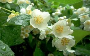 Picture drops, flowers, Bush, water drops, Jasmine