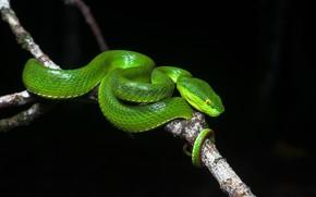 Picture snake, branch, balogova keffiyeh
