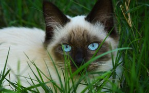 Picture cat, grass, cat, look, face, kitty, portrait, kitty, blue eyes, Siamese, color-point, ragdoll