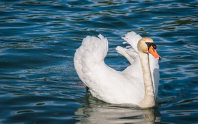 Picture white, bird, Swan, pond, swimming